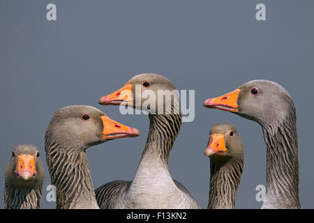 Greylag geese (Anser anser). Cley, Norfolk, UK, March. Digital composite. - Stock Photo