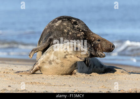 Atlantic Grey Seal adult courting couple - Stock Photo