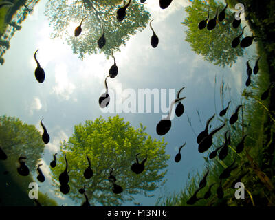 Tadpoles of the Common toad (Bufo bufo) swimming seen from below, Belgium, June. - Stock Photo