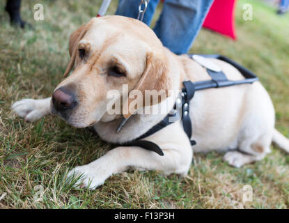 Labrador retriever guide dog before the last training for the animal. The dogs are undergoing various trainings - Stock Photo