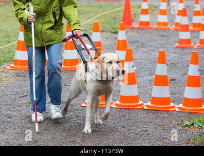 A blind person is led by her golden retriever guide dog during the last training for the dog. The dogs are undergoing - Stock Photo
