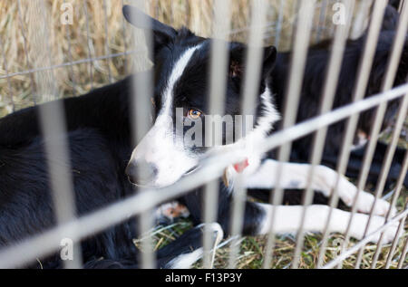 Homeless dogs are being locked in a cage. - Stock Photo