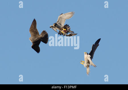 Adult male peregrine falcon (Falco peregrinus) in flight with prey, chased by juvenile male and adult female. Bristol, - Stock Photo