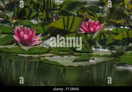 Water Lilies (Nymphaeaceae) are flowering aquatic plants that root in soil with the leaves and flowers floating - Stock Photo
