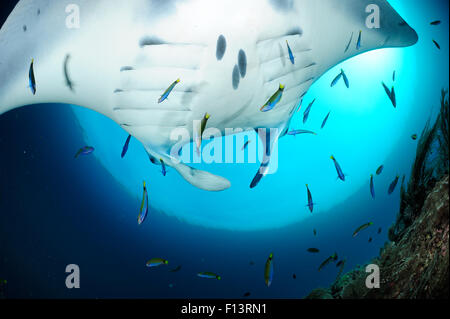 Giant manta rays (Manta birostris) at cleaning station North Raja Ampat, West Papua, Indonesia, Pacific Ocean - Stock Photo