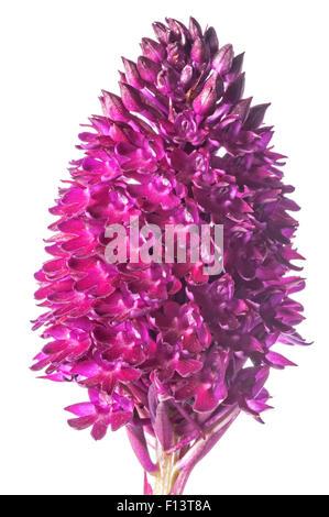 Pyramidal Orchid (Anacamptis pyramidalis) in flower, Sibillini, Umbria, Italy, June. - Stock Photo