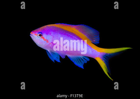Portrait of Purple anthias (Pseudanthias tuka) swimming in open water. Cape Kri, Kri Island, Raja Ampat, West Papua, - Stock Photo