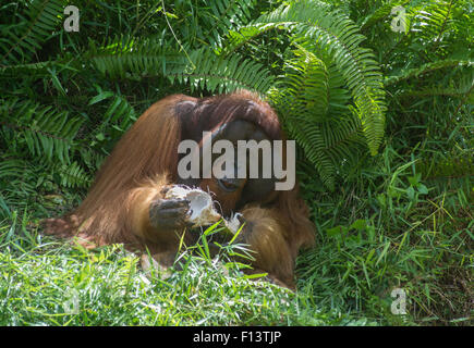 Flanged male Bornean orangutan eating a coconut - Stock Photo