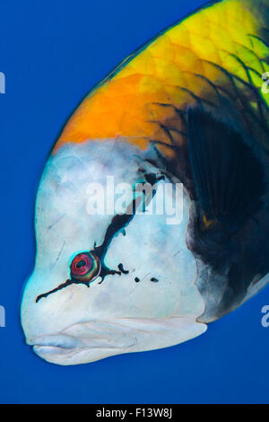 Portrait of face of male Slingjaw wrasse (Epibulus insidiator) Ras Umm Sid, Sharm El Sheikh, Sinai, Egypt. Gulf - Stock Photo