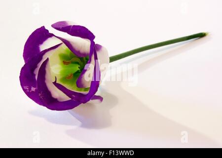 Blue Lisianthus Flower.  A single lisianthus flower on a white background. - Stock Photo