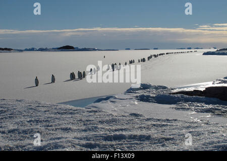 Emperor penguin (Aptenodytes forsteri) procession crossing newly formed sea ice on the way to their breeding grounds, - Stock Photo