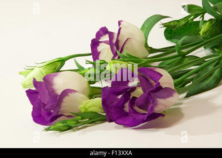 Blue Lisianthus Flowers.  Lisianthus flowers on a white background. - Stock Photo