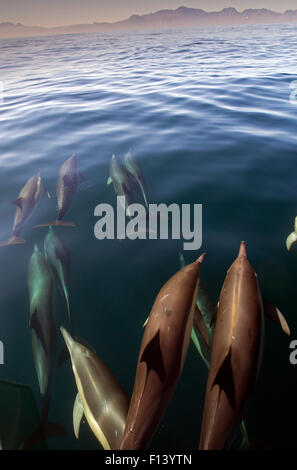 Common dolphin (Delphinus delphis) False Bay, Cape Town, South Africa - Stock Photo