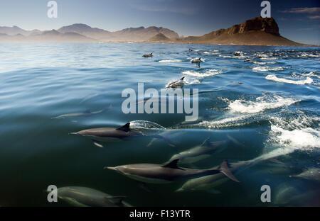 Common dolphin (Delphinus delphis) False Bay, Cape Town, South Africa - Stock Photo