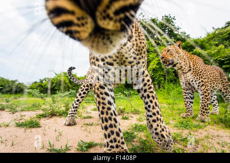 African leopard (Panthera pardus pardus) investigating remote camera. South Luangwa National Park, Zambia. - Stock Photo
