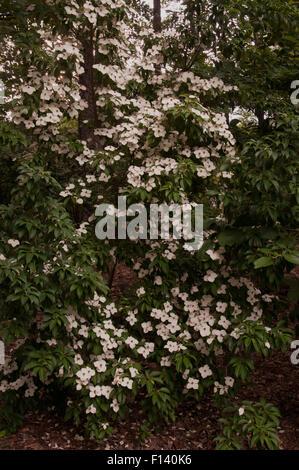 Cornus angustata empress of china stock photo royalty free image cornus angustata empress of china stock photo sciox Image collections