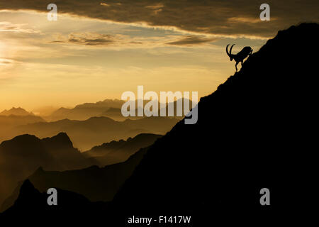 Alpine ibex (Capra ibex) male on mountainside at sunrise, Bernese Alps, Switzerland, July. Received honourable mention - Stock Photo