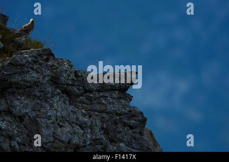Rock ptarmigan (Lagopus muta) in summer plumage,  on mountainside, Bernese Alps, Switzerland, August. - Stock Photo