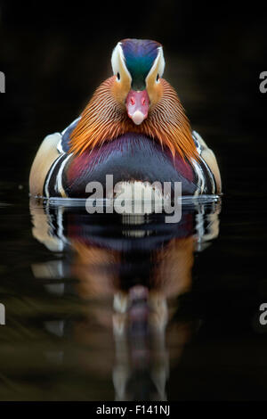 Mandarin Duck (Aix galericulata) male on lake, UK, April. - Stock Photo