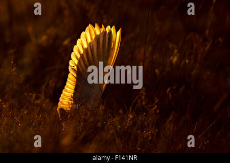 Barn Owl (Tyto alba) wings up right as it dives at prey, at sunrise, UK, March. - Stock Photo