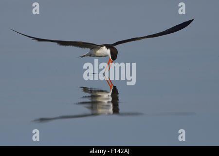 African skimmer (Rynchops flavirostris) skimming, Chobe River, Botswana, November. - Stock Photo