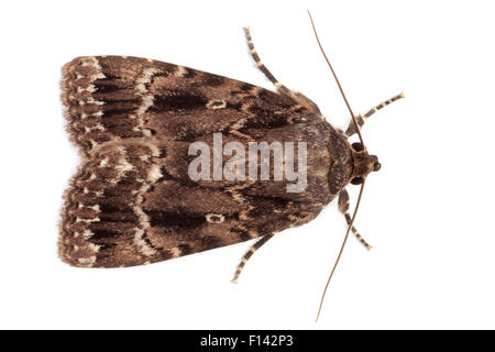 Copper Underwing (Amphipyra pyramidea), photographed in mobile field studio on a white background. Surrey, UK. August. - Stock Photo
