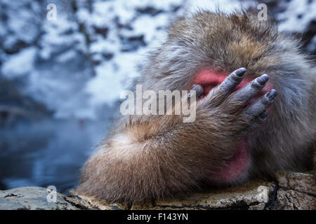 Japanese Macaque (Macaca fuscata) male resting at the edge of thermal hotspring pool with hand covering face, Jigokudani - Stock Photo