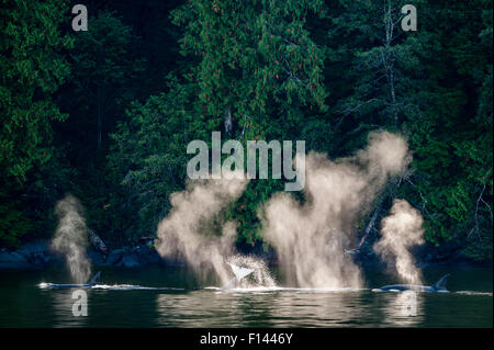 Orcas or Killer Whales (Orcinus orca) hunting near the shore. Mathieson Channel, near Mussel Inlet, Great Bear Rainforest, - Stock Photo