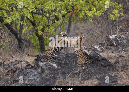 Bengal Tiger (Panthera tigris tigris) juveniles age 18 months playing fighting. Bandhavgarh National Park, India. - Stock Photo