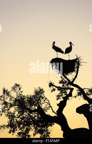 White stork (Ciconia ciconia) pair silhouetted on nest at sunset near Castro Verde, Alentejo, Portugal, February. - Stock Photo