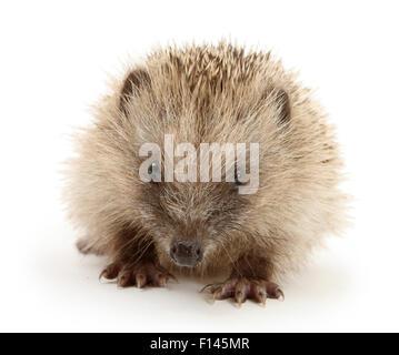 Baby Hedgehog (Erinaceus europaeus), against white background - Stock Photo