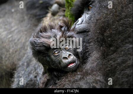 Mountain Gorilla (Gorilla beringei beringei) baby with mother, Rwanda, Africa. - Stock Photo