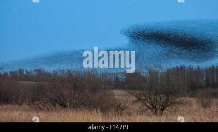 Huge flock of Common Starlings (Sturnus vulgaris) flying in to roost over reed beds at dusk, long exposure. Peak - Stock Photo