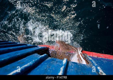 Bycatch of Little skates (Leucoraja erinacea) and Yellowtail flounder (Limanda ferrunginea) being returned to ocean - Stock Photo