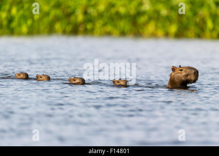 Female Capybara (Hydrochoerus hydrochaeris) swimming in line with young after escaping a Jaguar attack (Panthera - Stock Photo