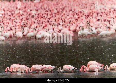 Flock of lesser flamingos (Phoeniconaias minor) feeding on the lake in the rain, Bogoria Game Reserve, Kenya. October. - Stock Photo