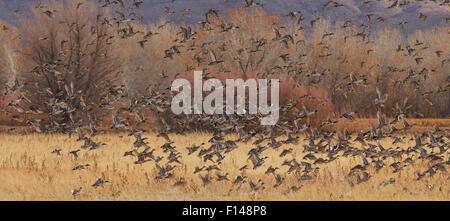A mass of Northern Pintail (Anas acuta) ducks along with a few Mallard Ducks (Anas platyrhynchos) take off after - Stock Photo
