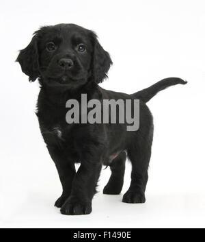 Black Cocker Spaniel puppy standing, against white background - Stock Photo