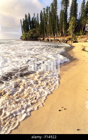 Cook pine (Araucaria columnaris) and beach with lapping waves, Pine Island, New-Caledonia. - Stock Photo