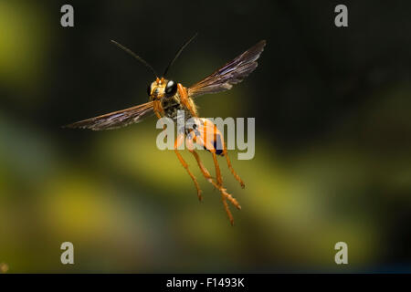 Male Great golden digger wasp (Sphex ichneumoneus) in flight, South Texas, USA, September. - Stock Photo
