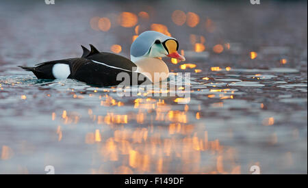 Male King eider duck (Somateria spectabilis) on water, Batsfjord, Norway, March. - Stock Photo