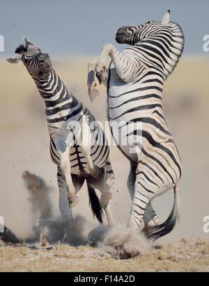 Two Burchell's / Plains zebra (Equus quagga / burchelli) stallions on hind legs fighting, Etosha National Park, - Stock Photo