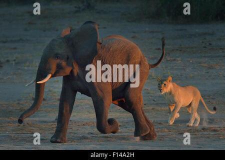 Lioness (Panthera leo) chasing young African elephant (Loxodonta africana) bull, Chobe River, Botswana, May, Vulnerable - Stock Photo