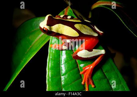 Beireis' treefrog (Dendropsophus leucophyllatus) on leaf, French Guiana. - Stock Photo