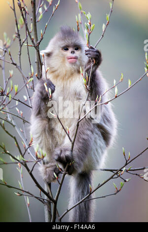Yunnan Snub-nosed Monkey (Rhinopithecus bieti) young eating fresh leaf buds. Yunnan Province, China. - Stock Photo