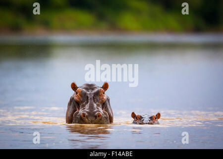 Hippopotamus (Hippopotamus amphibius) mother and calf submerged in water, South Luangwa National Park, Zambia. January. - Stock Photo