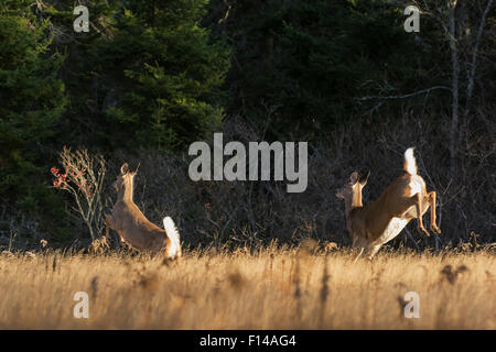 White-tailed Deer (Odocoileus virginianus) rear view of does running through meadow at sunrise. Acadia National - Stock Photo