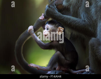 Long-tailed macaque (Macaca fascicularis) baby aged 2-4 weeks holding on to an adult's tail while it is being groomed. - Stock Photo