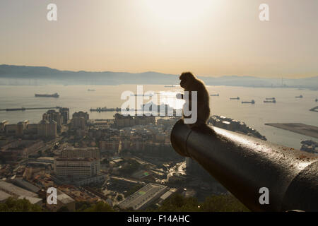Barbary macaque (Macaca sylvanus) resting on old canon at sunrise, with view over looking Gibraltar City, Upper - Stock Photo