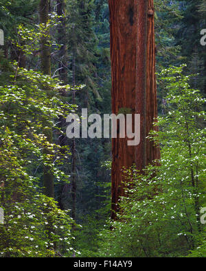 Pacific Dogwood Tree (Cornus nuttallii) and Giant Sequoia (Sequoiadendron giganteum), Sequoia / Kings Canyon National - Stock Photo